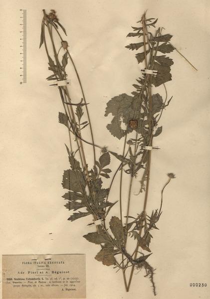 Scabiosa columbaria L. subsp. columbaria