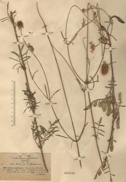 Sixalix atropurpurea (L.) Greuter & Burdet s.l.