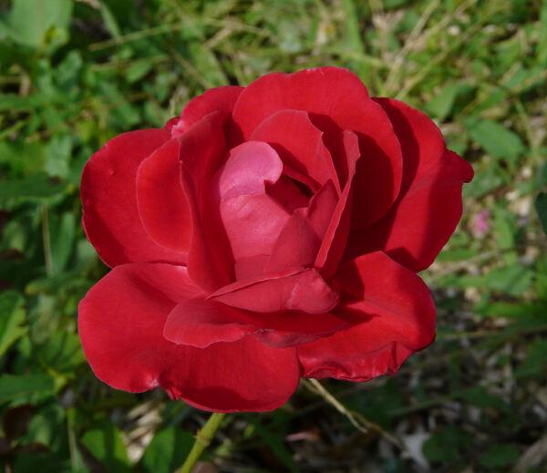 Rosa 'Heidelberg'