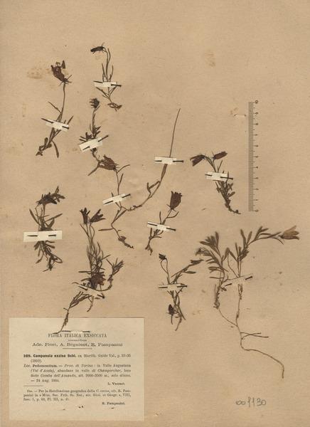 Campanula excisa Schleich. ex Murith