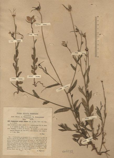 Campanula ramosissima Sm.
