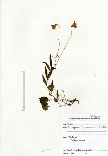 Campanula scheuchzeri Vill. subsp. pollinensis (Podlech) Bernardo, Gargano & Peruzzi