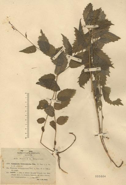 Asyneuma trichocalycinum (Ten.) K.Malý