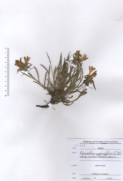 Edraianthus graminifolius (L.) A.DC. ex Meisn. subsp. siculus (Strobl) Greuter & Burdet