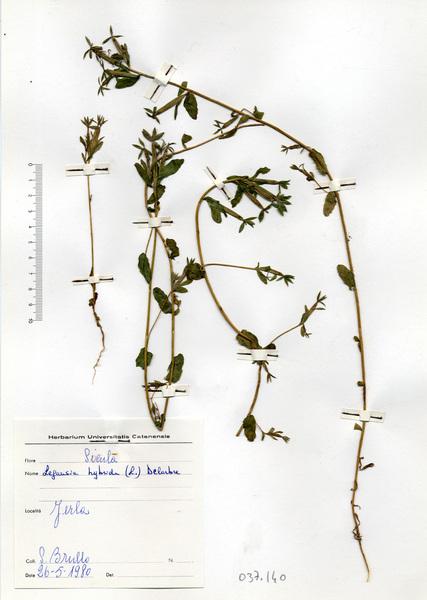 Legousia hybrida (L.) Delarbre