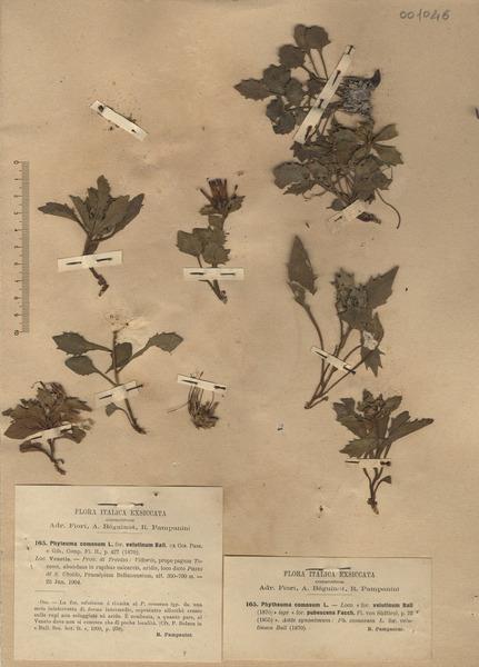 Physoplexis comosa (L.) Schur