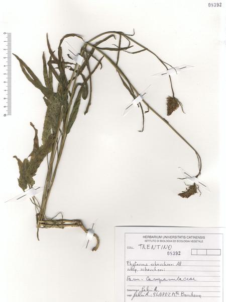 Phyteuma scheuchzeri All.