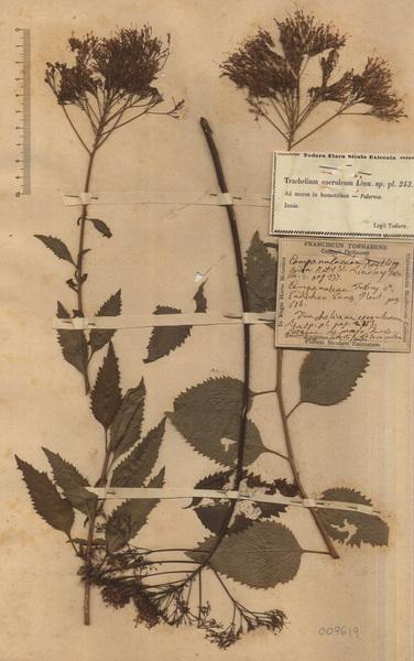 Trachelium caeruleum L.