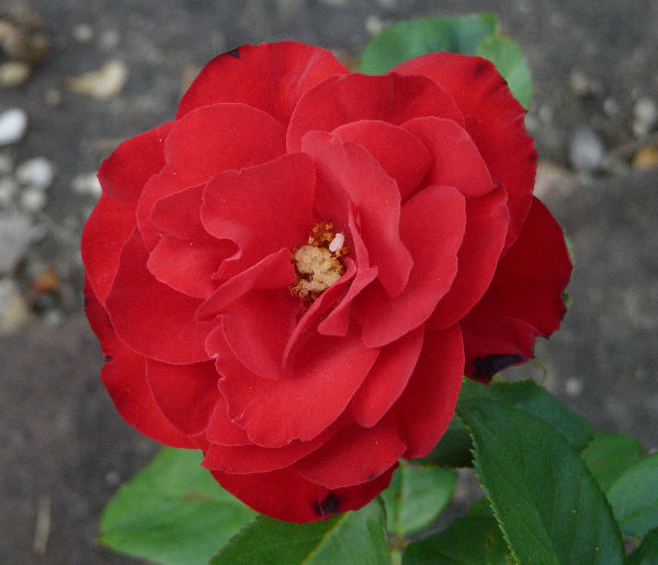 Rosa 'Walzertraum'