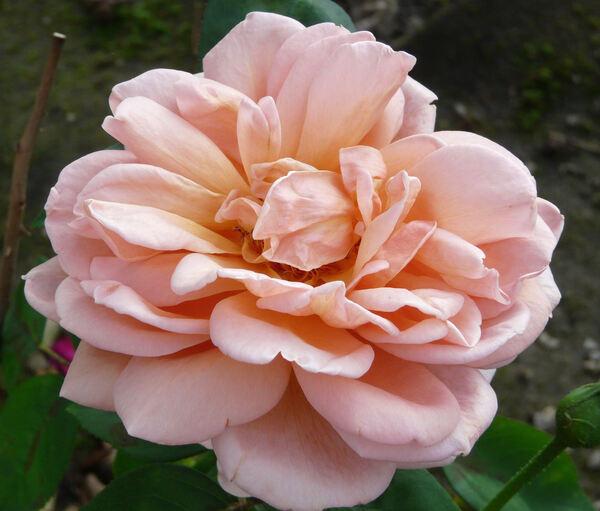 Rosa 'André le Troquer'