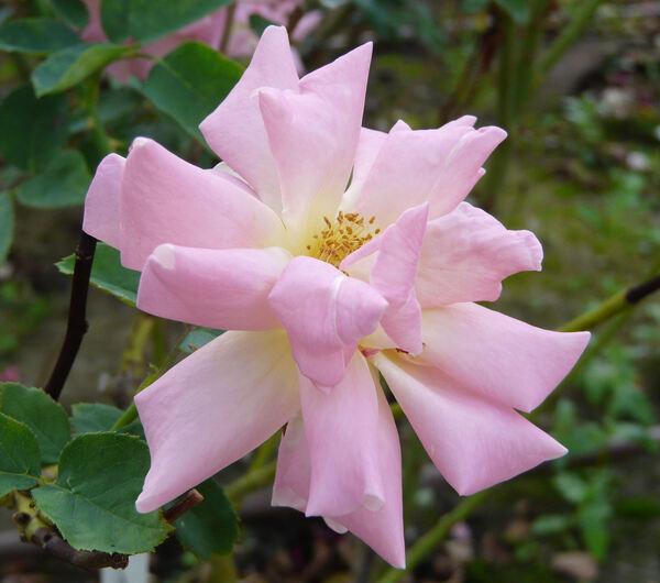 Rosa 'Printemps'