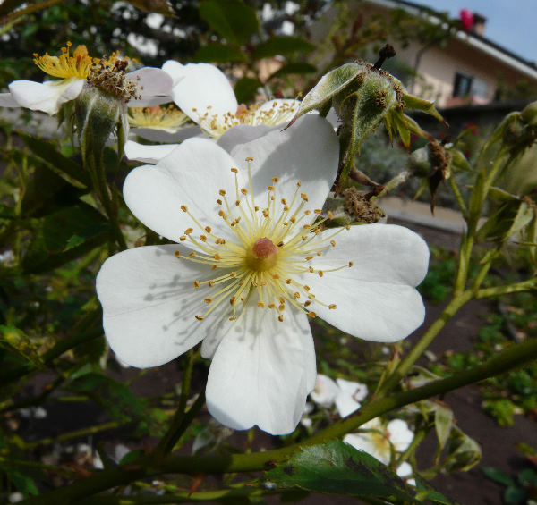 Rosa 'White Fleurette ®'