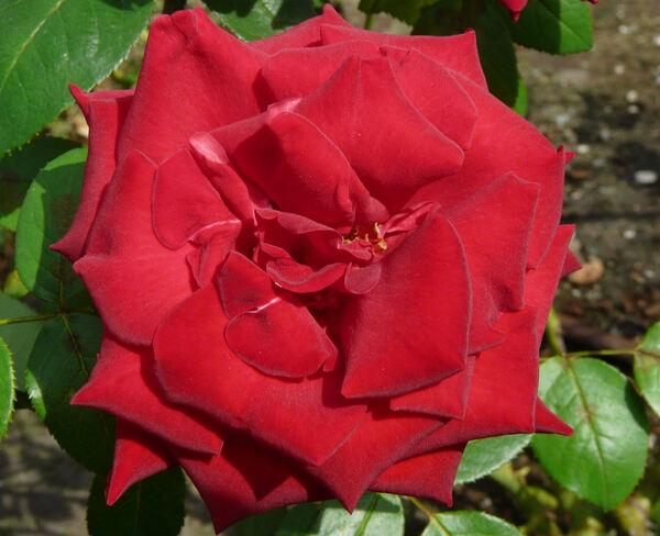 Rosa 'As de Coeur'