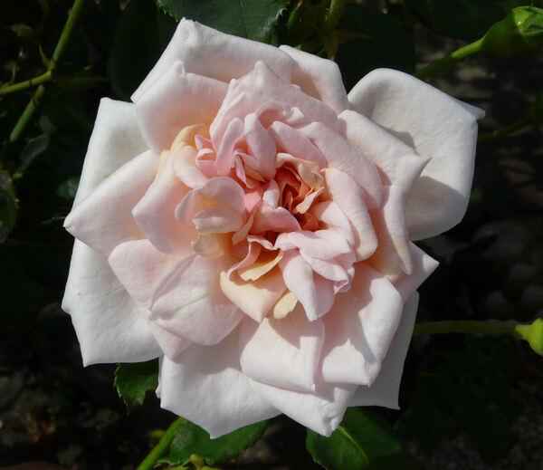 Rosa 'Prince de Bulgarie'