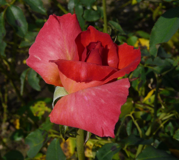 Rosa 'Rosalinda'