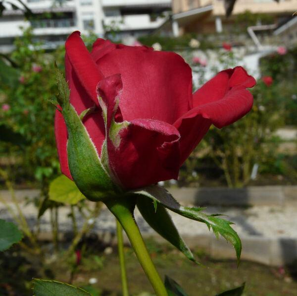 Rosa 'Belvédère'