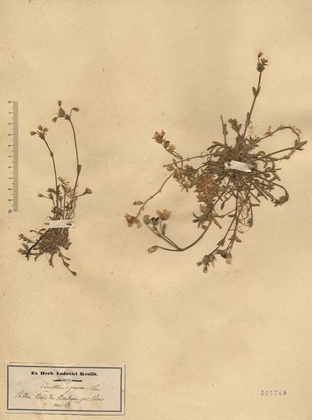 Cerastium ligusticum Viv.
