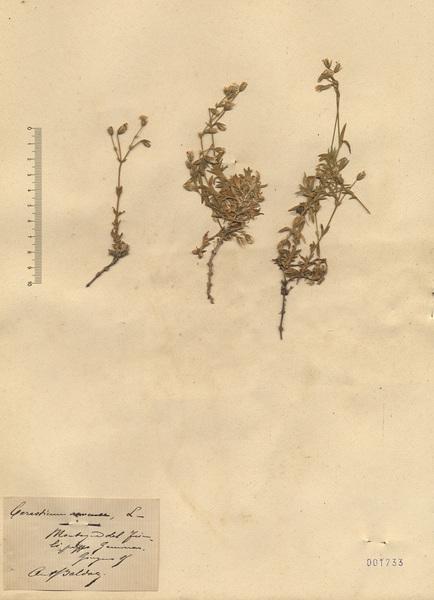 Cerastium arvense L.