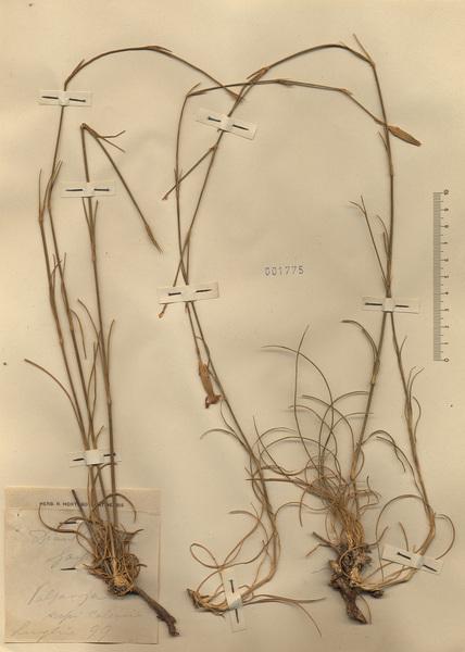 Dianthus siculus C.Presl