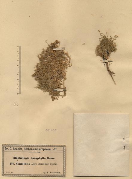 Moehringia sedoides (Pers.) Ugo Cumino ex Loisel.