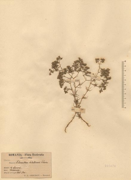 Scleranthus perennis L. subsp. dichotomus (Schur) Nyman