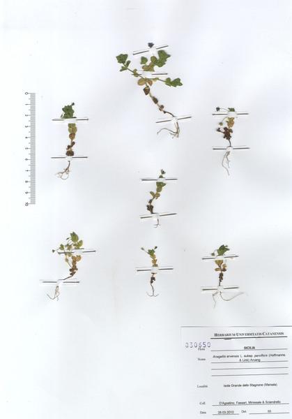 Lysimachia nardii Arrigoni
