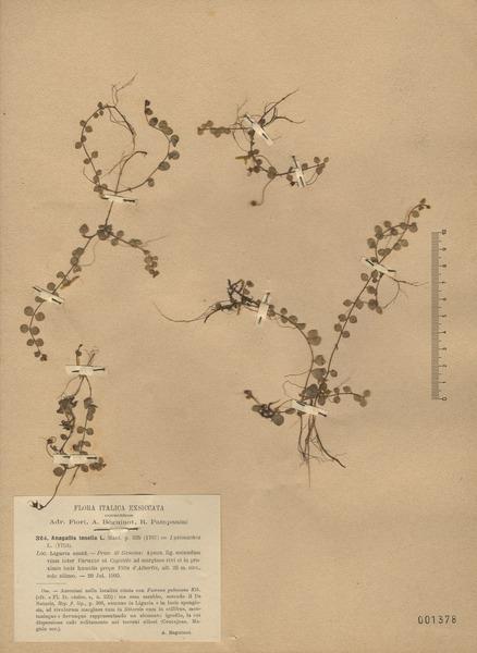 Lysimachia tenella L.