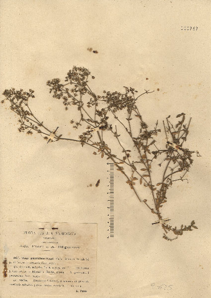 Rhodalsine geniculata (Poir.) F.N.Williams