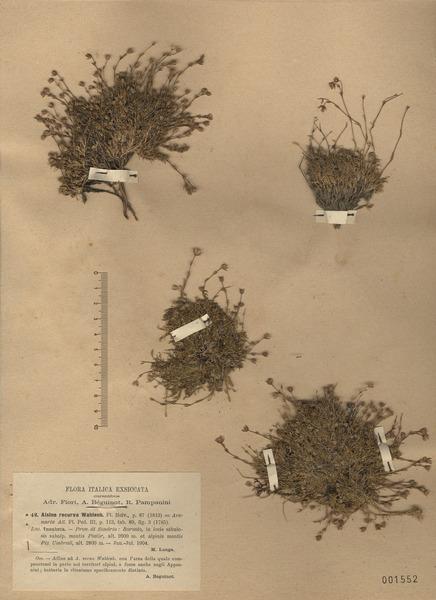 Minuartia recurva (All.) Schinz & Thell. subsp. recurva