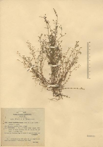 Sabulina tenuifolia (L.) Rchb. subsp. tenuifolia