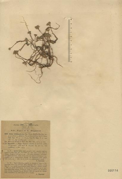 Minuartia glomerata (M.Bieb.) Degen subsp. trichocalycina (Ten. & Guss.) F.Conti