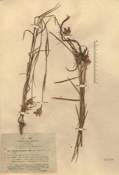 Dianthus ferrugineus Mill.