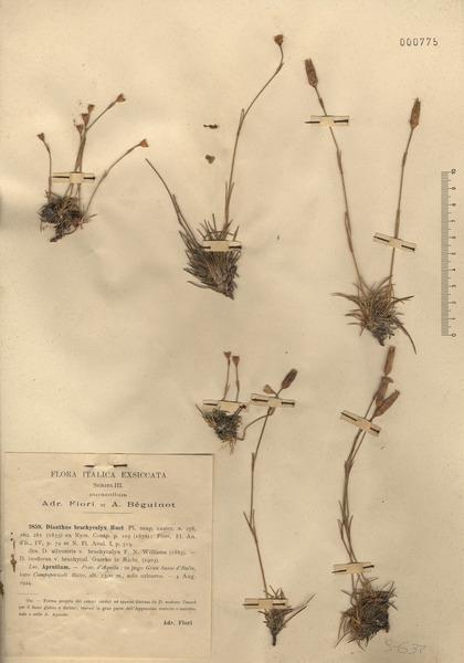Dianthus brachycalyx A.Huet & É.Huet ex Bacch., Brullo, Casti & Giusso