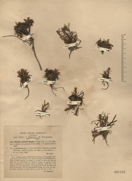 Dianthus glacialis Haenke subsp. glacialis