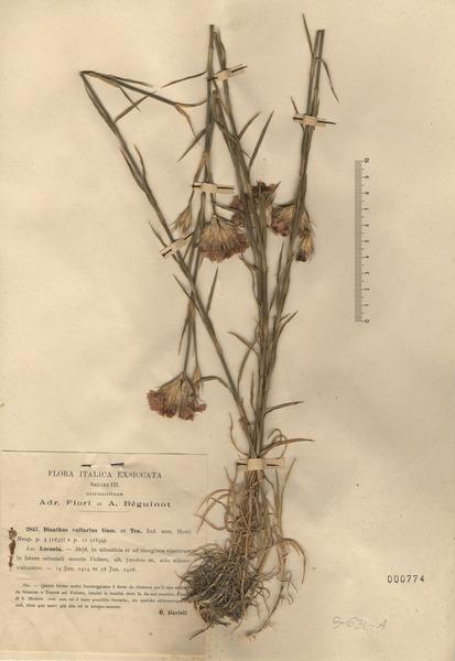 Dianthus vulturius Guss. & Ten. subsp. vulturius