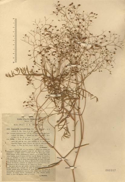 Gypsophila arrostoi Guss. subsp. arrostoi