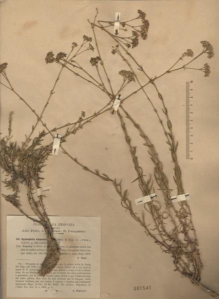 Gypsophila papillosa Porta