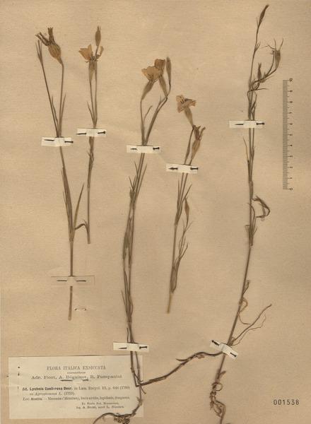 Eudianthe coeli-rosa (L.) Fenzl ex Endl.