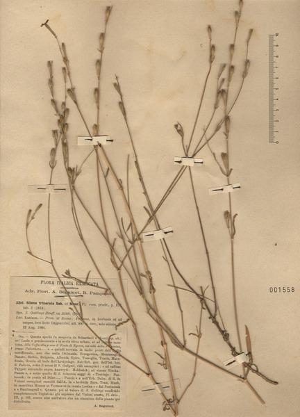Silene gallinyi Heuff. ex Rchb.