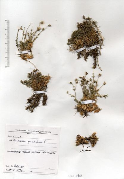 Arenaria grandiflora L. subsp. grandiflora