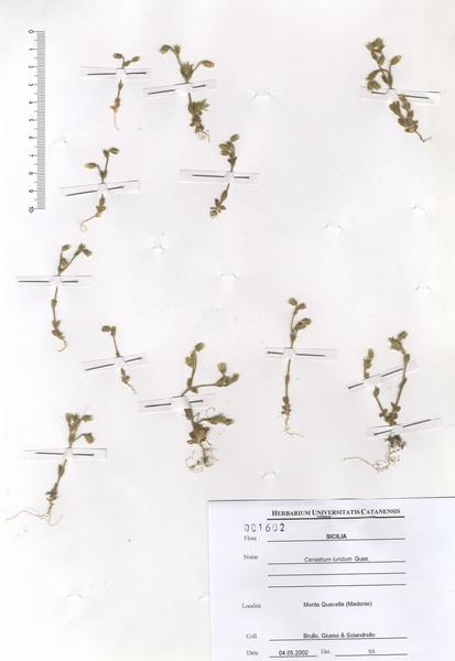 Cerastium brachypetalum Desp. ex Pers. subsp. roeseri (Boiss. & Heldr.) Nyman