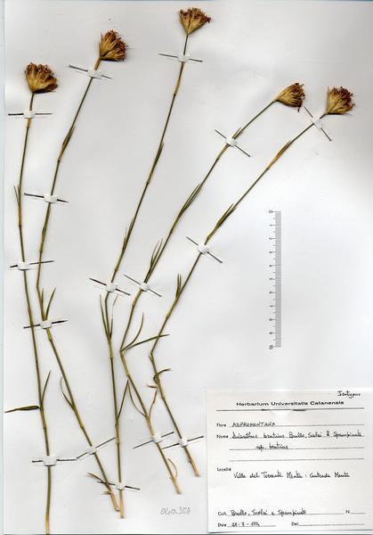 Dianthus brutius Brullo, Scelsi & Spamp.