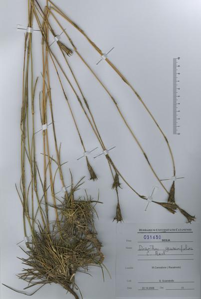 Dianthus graminifolius C.Presl