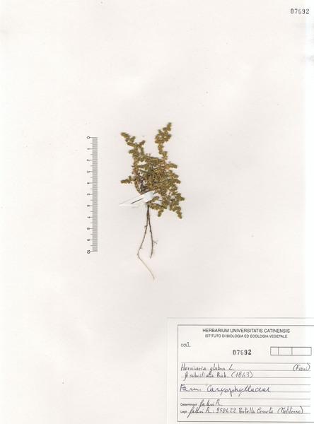 Herniaria glabra L. subsp. glabra