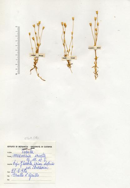 Moenchia erecta (L.) G.Gaertn., B.Mey. & Scherb. subsp. erecta