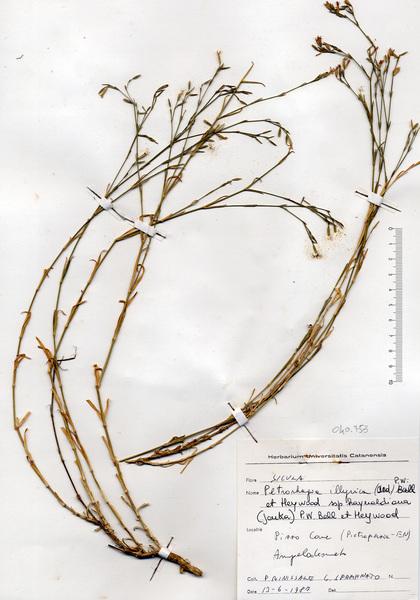 Petrorhagia illyrica (Ard.) P.W.Ball & Heywood subsp. haynaldiana (F.N.Williams) P.W.Ball & Heywood