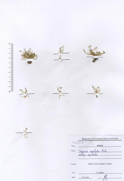 Sagina apetala Ard. subsp. apetala