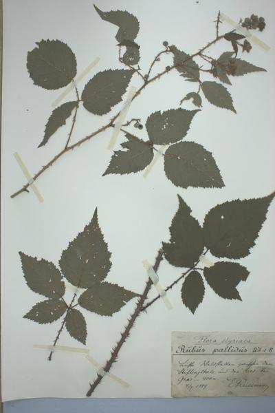Rubus pallidus Weihe