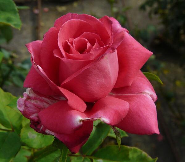 Rosa 'Swarthmore'