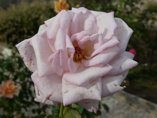 Rosa 'Lady X'